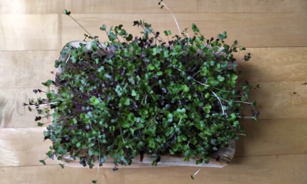 Health Benefits Of Microgreens – Young Vegetable Greens Jampacked With Nutrients!